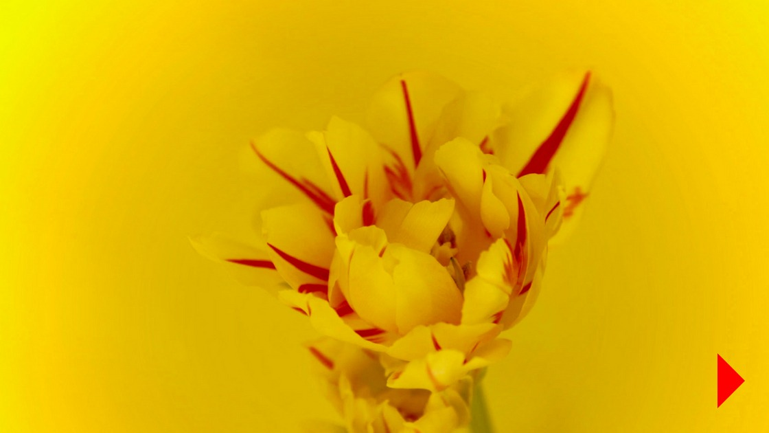 Yellow and red stripy tulip